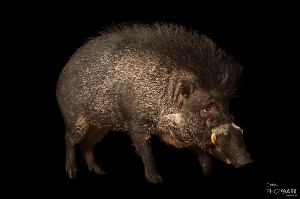 Photo Ark Home Critically Endangered Visayan Warty Pigs