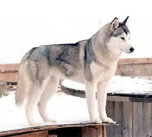 Gray Siberian Husky Alaska Husky Dogs Siberian Husky Dog