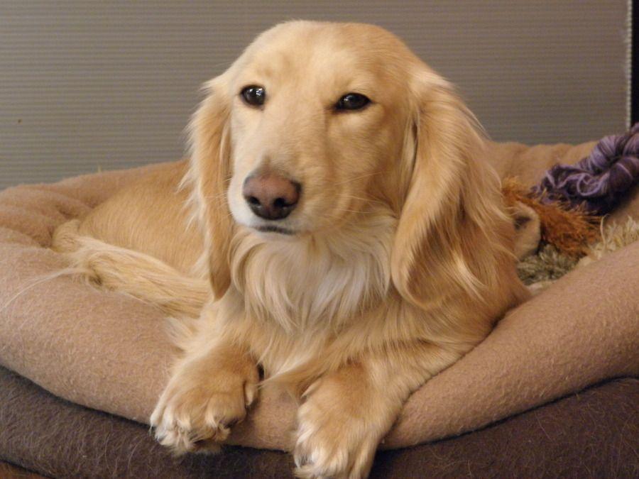Savvee the Beagle / Dachshund Mix Beagle mix puppies