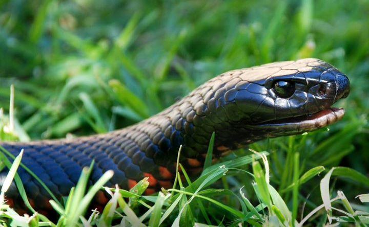 Red Bellied Black Snake Pseudechis Porphyriacus Snake Wallpaper Animals Snake