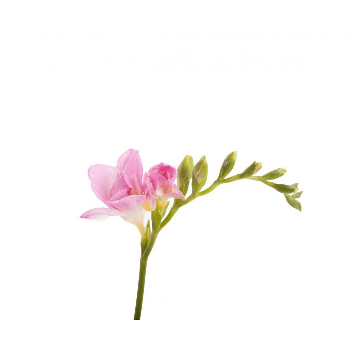 Light Pink Freesia Freesia Flowers Types Of Flowers