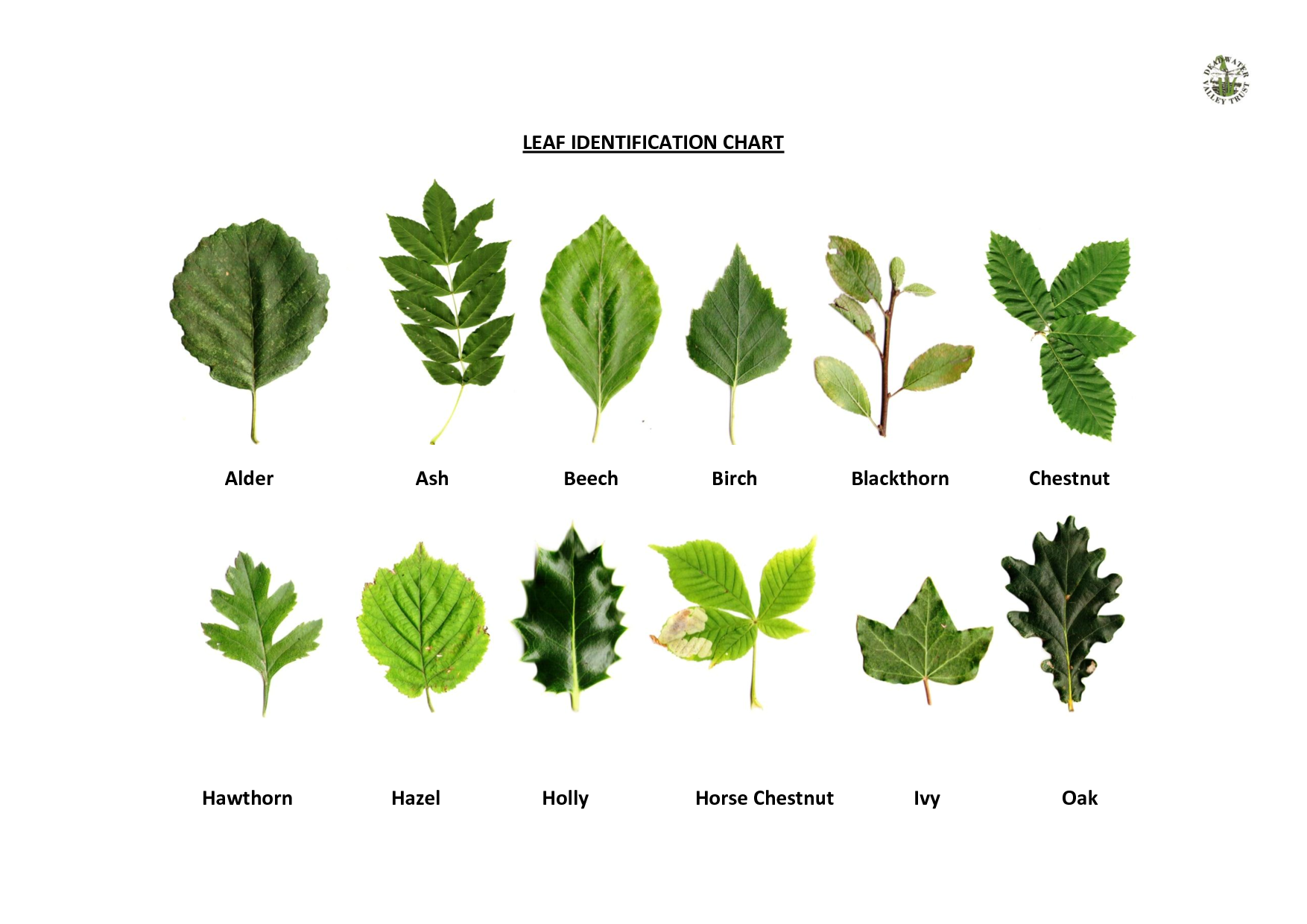 Oak Leaf Identification Chart