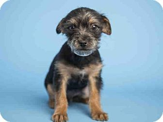 Cairn Terrier Mix Puppy For Adoption In Phoenix Arizona Titus