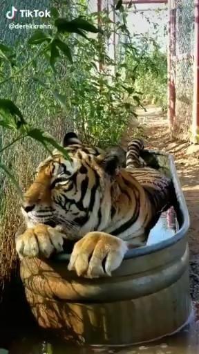 Photo of Caturday Tigre