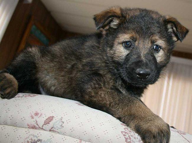 Black Sable German Shepherd Puppies For Sale Zoe Fans Blog