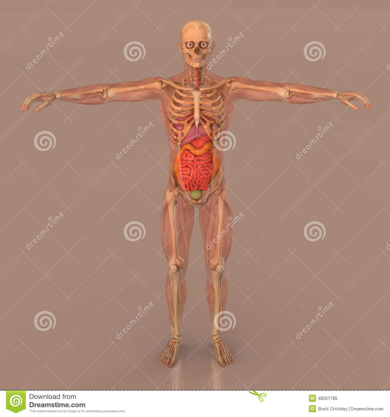 Human anatomy showing full standing opaque body, skeleton and ...