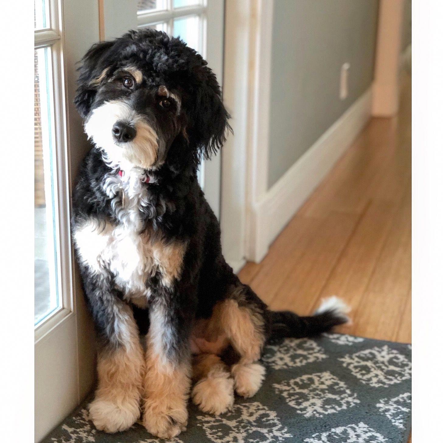 Mini bernedoodle #PoodlePup