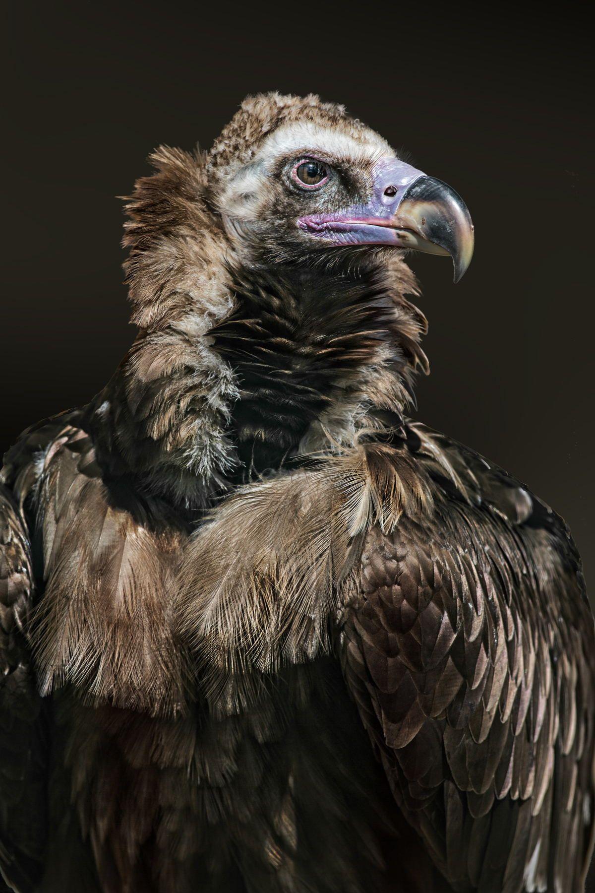 Cinereous Vulture Aegypius Monachus Vulture Pet Birds