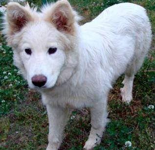 Samoyed Mixed With German Shepherd siberian husky ...