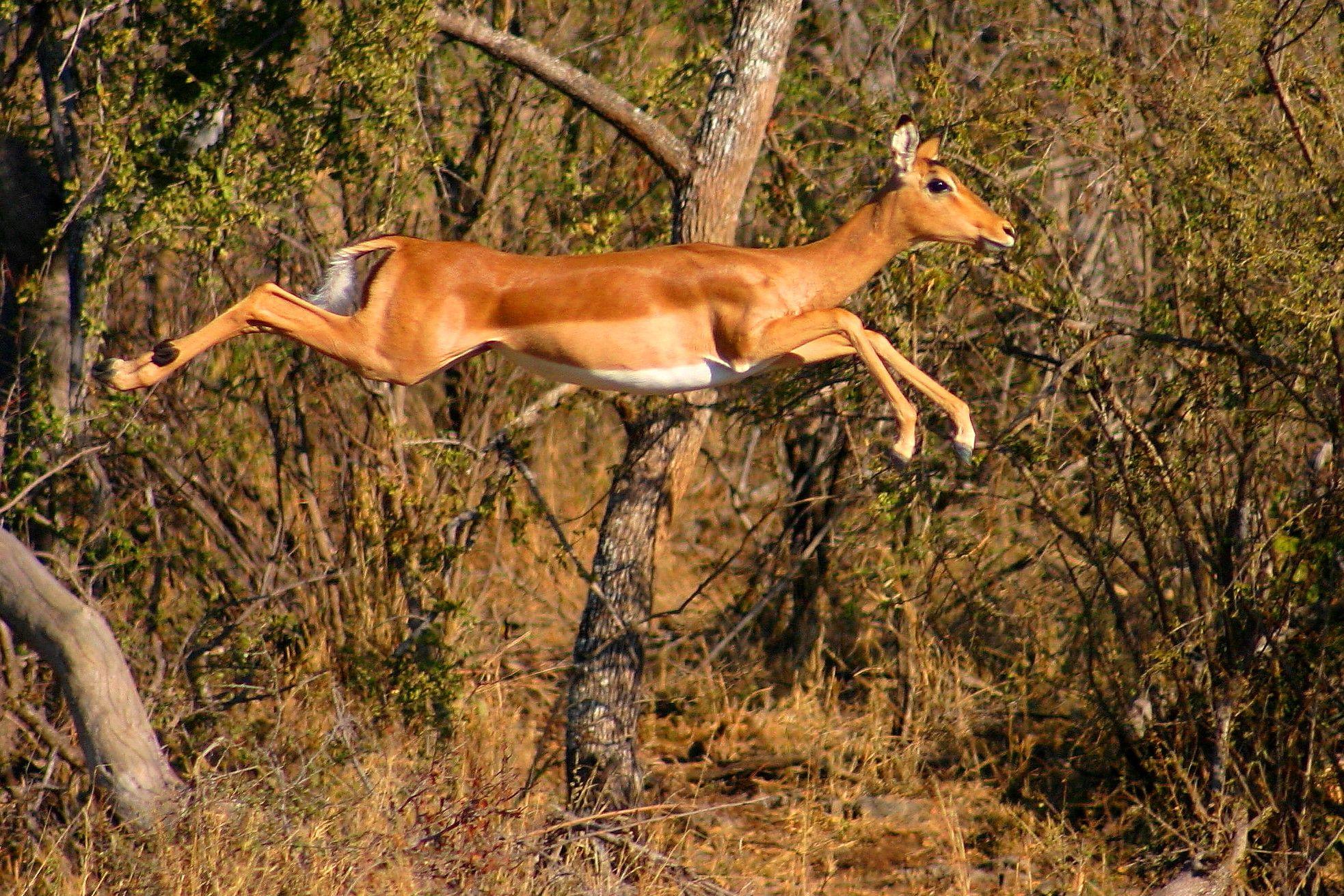 impala animal jumping - HD1966×1311