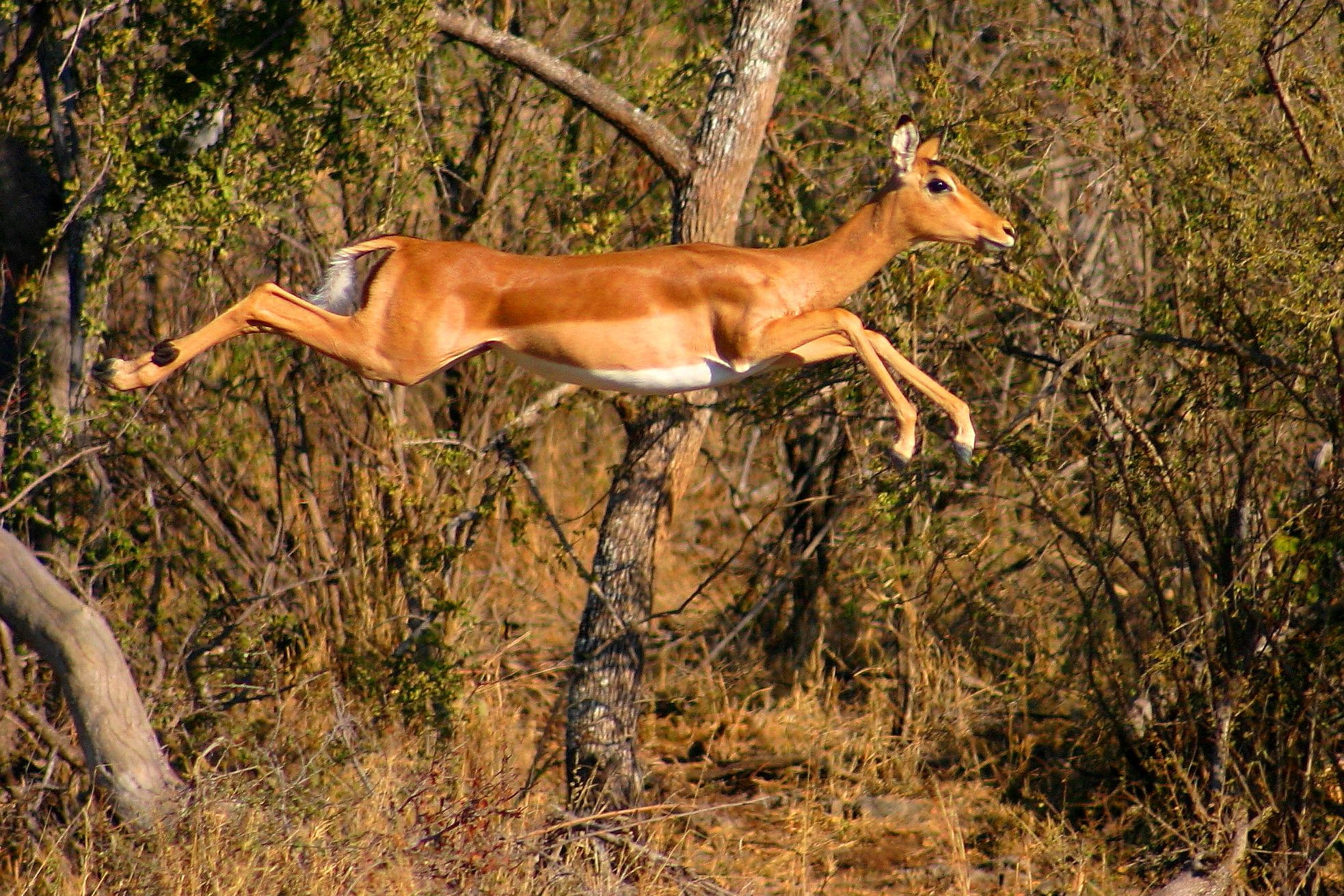 springbok gazelle - Google Search | julie | Pinterest | Animal
