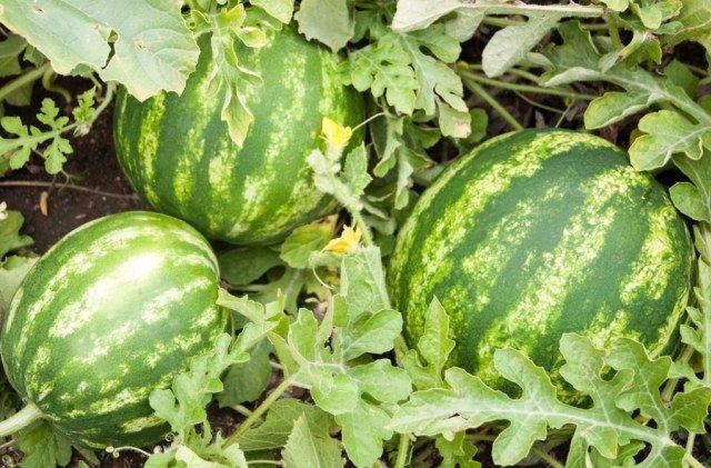 growing watermelons in the garden