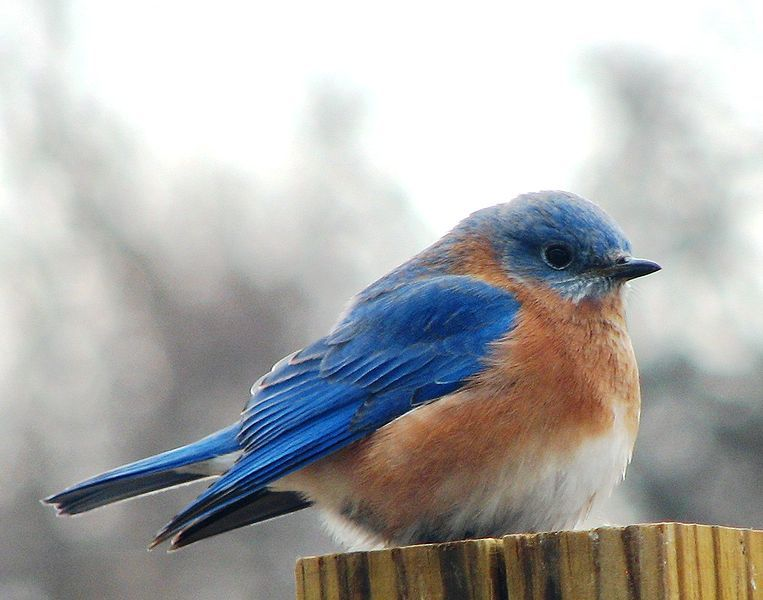 Fajl Male Eastern Bluebird Blue Bird Eastern Bluebird Wild Birds Unlimited