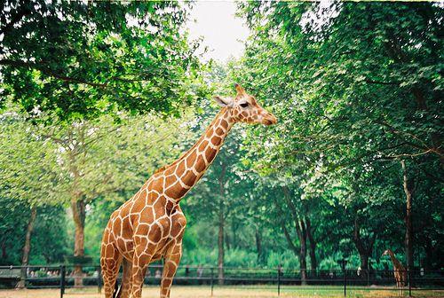 2 Tumblr Animals Giraffe All We Know