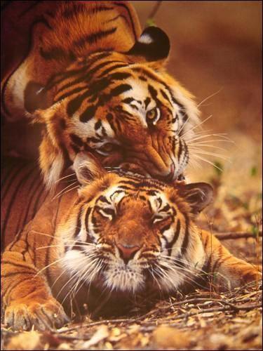 Quelle Est La Saison Des Amours Chez Le Tigre Plusieurs Bonnes Reponses Animals Tiger