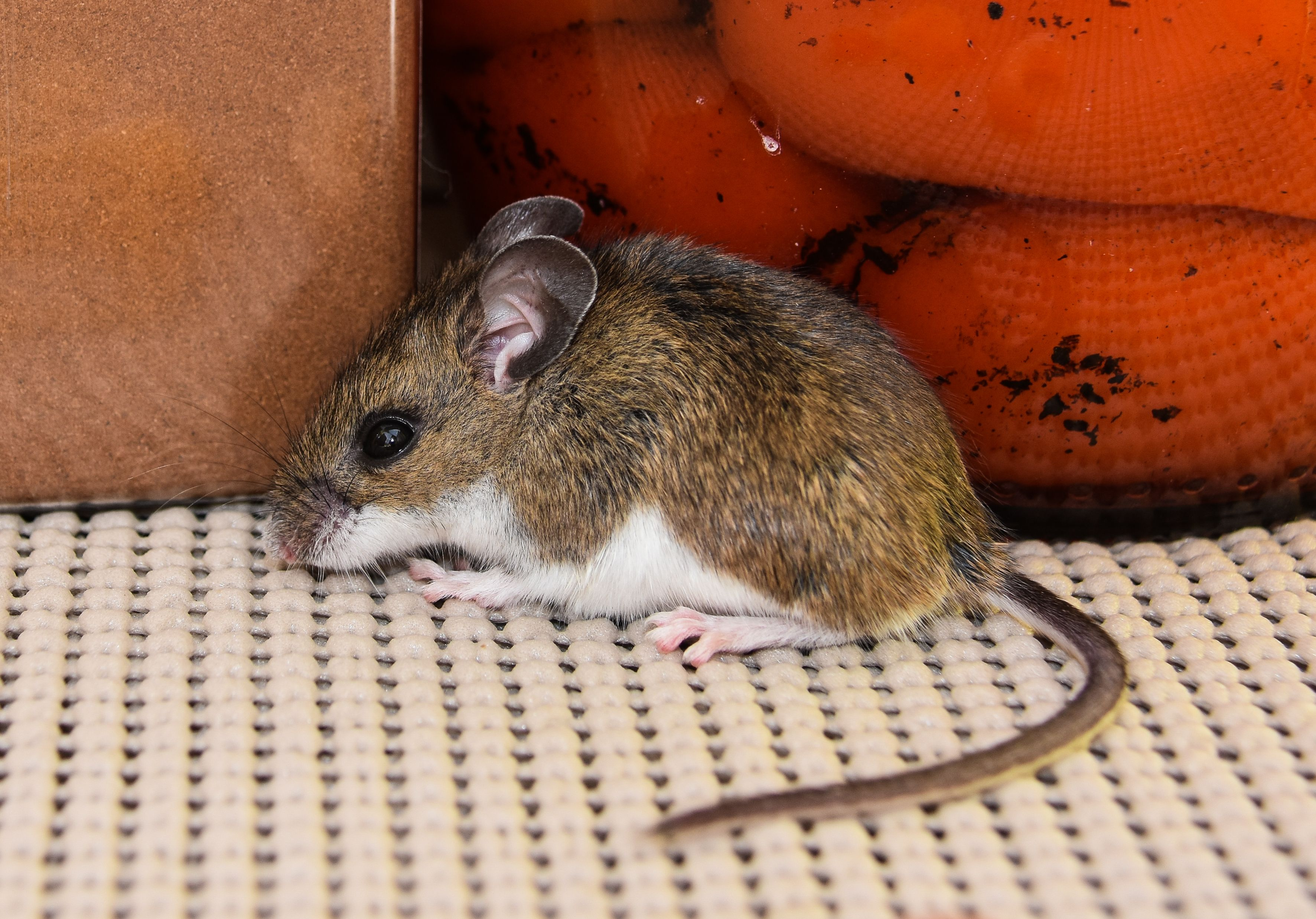 Pin By A1 Exterminators On Bug Pest Control Tips In 2020 Mice Infestation Health Risks Infestations