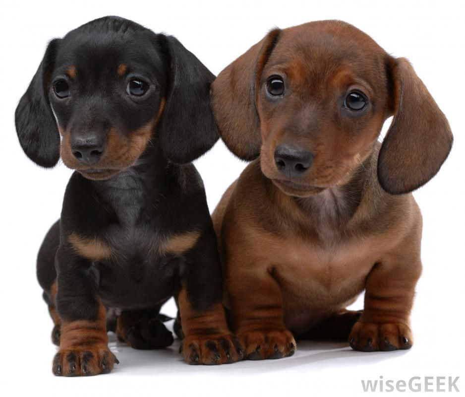 Pair Of Smooth Haired Dachshund Puppies Dachshund Puppies
