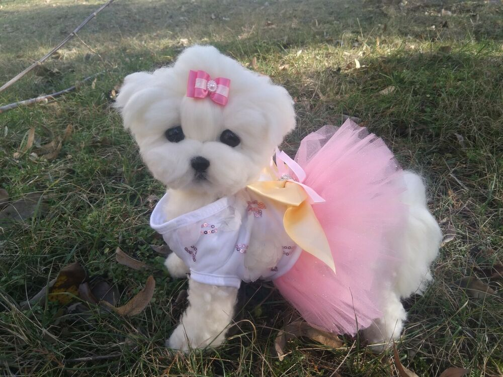 Pin By Maydream On Everything Maltese Dogs Maltese Puppy Maltese