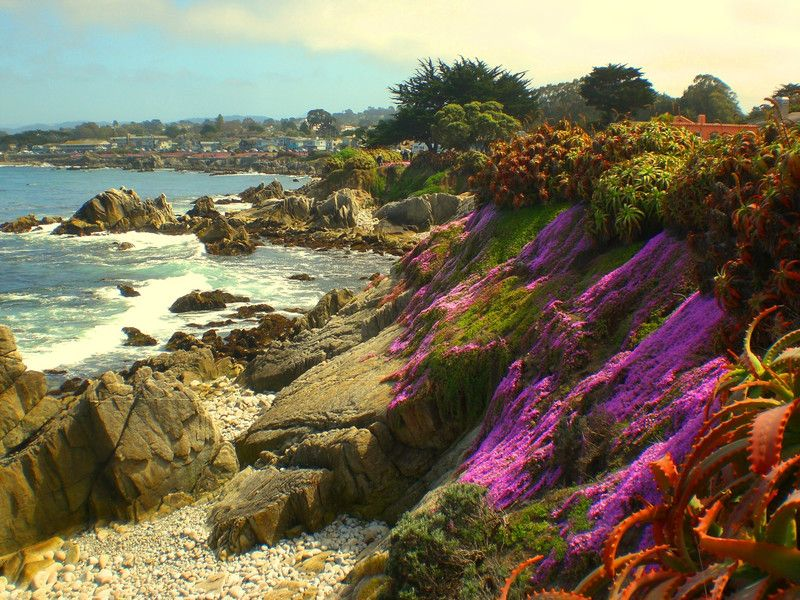 Purple Iceplant blooming in Pacific Groves, California
