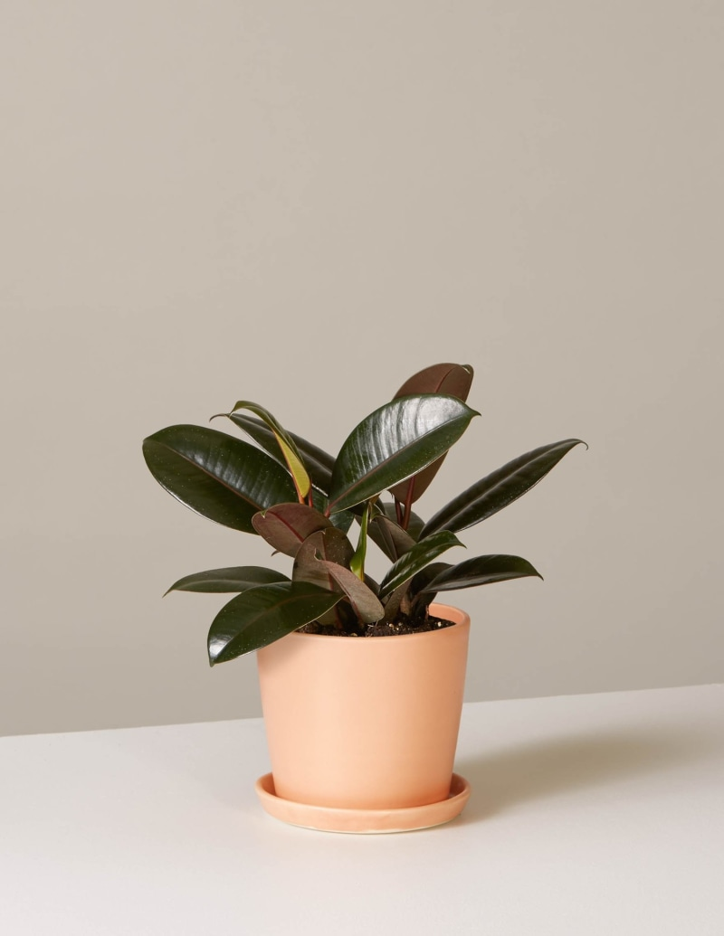 3 Rubber Plant Care Tips You Need To Know With Images