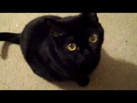 Bombay Cat Breed Soooo Cute Looks Like Toothless From How To Train Your Dragon And Distinctive Voice Cats Bombay Cat Pets Cats