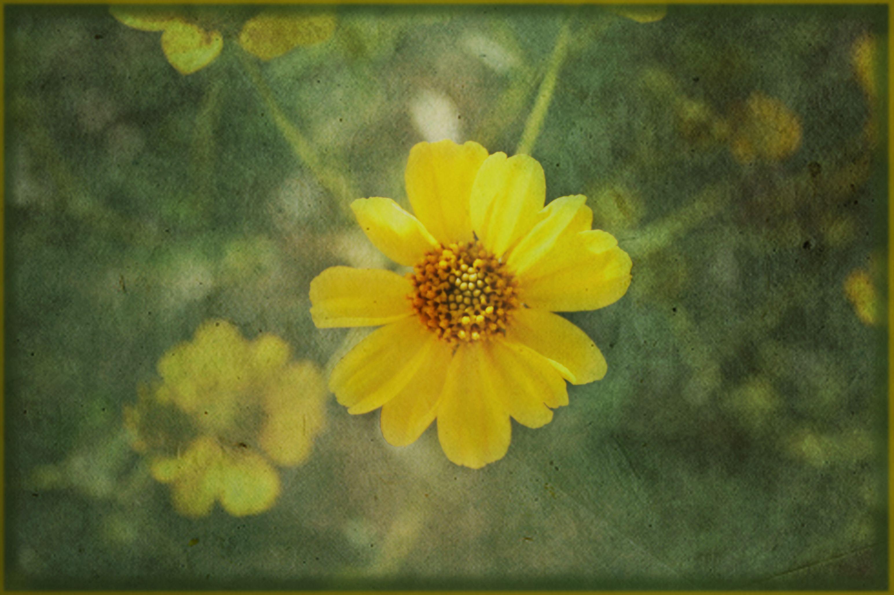 Yellow Desert Flower Yellow Pinterest Desert Flowers