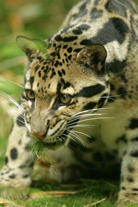 Ocelot.OF DOOM!   Animals wild, Animals, Clouded leopard