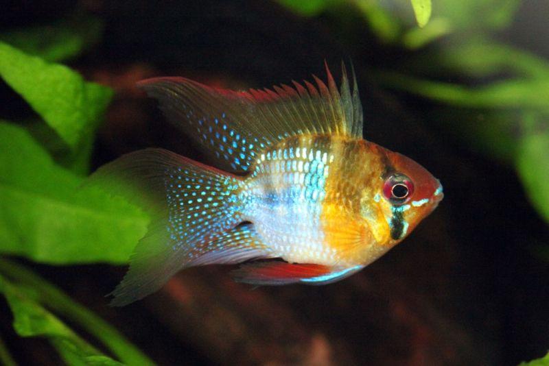 Mikrogeophagus Ramirezi Ram Apistogramma Ramirezi Papiliochromis Ramirezi Microgeophagus Ramirezi Tropical Fish Pictures South American Cichlids Cichlids