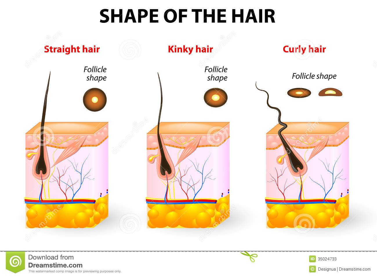 shape-hair-hair-anatomy-types-cross-section-different-texture ...