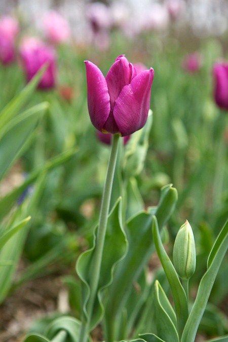 passionale tulip (1)