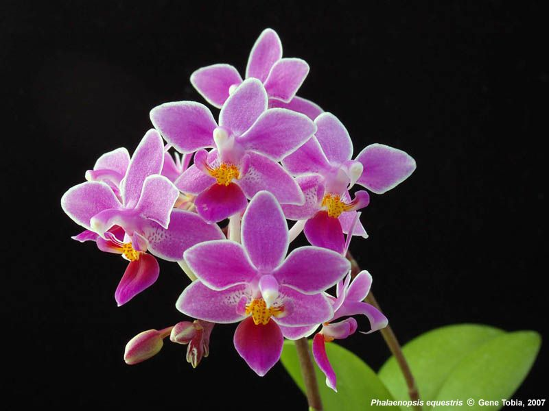 phalaenopsis orchids orchids from green drop home orchids phalaenopsis equestris. Black Bedroom Furniture Sets. Home Design Ideas