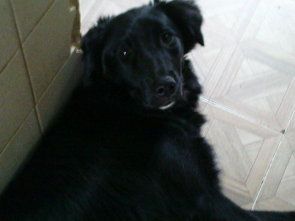 This Is Amy She Is A Border Collie Crossed With We Believe A Flat
