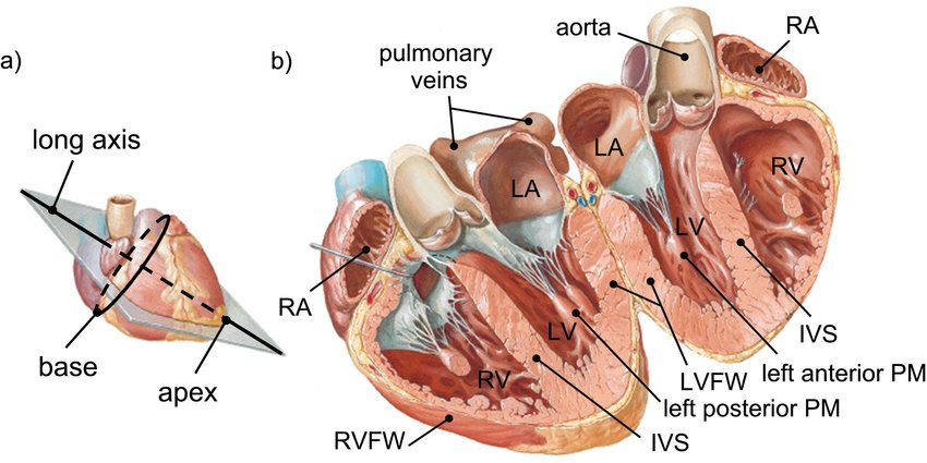 1: Anatomical cross-section of the human heart, adapted ...