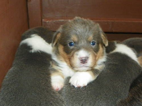 Pembroke Welsh Corgi Akc Pembroke Welsh Corgi Puppies For Sale