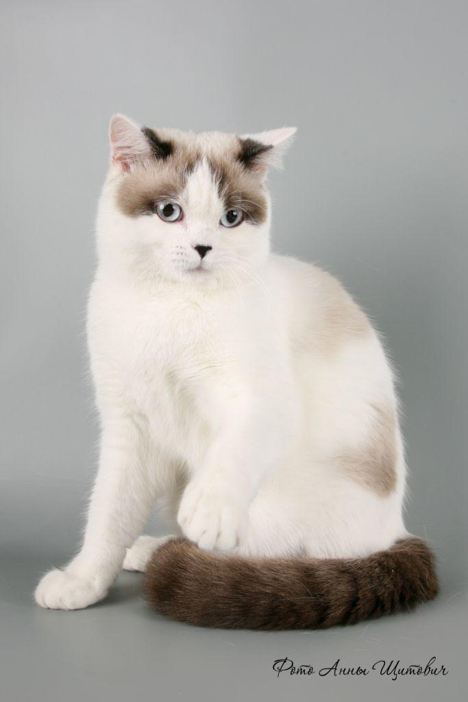 Flo3 Jpg Image Siamese Cats Cats British Shorthair Cats