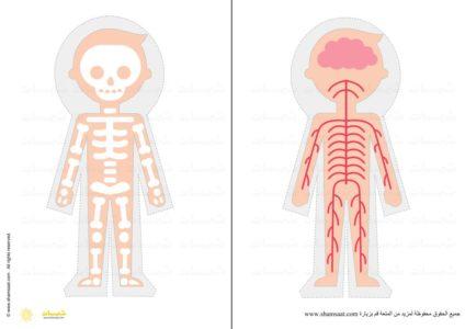 الجهاز العصبي الهيكل العظمي جسم الانسان مشروع أجهزة الجسم