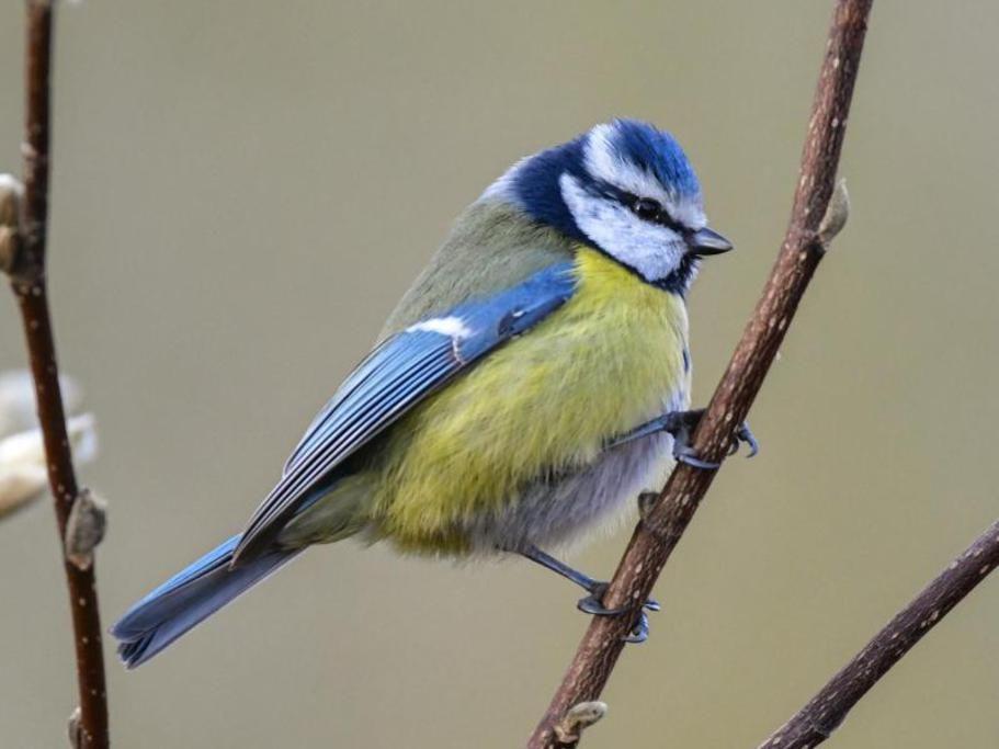 Bildergebnis Fur Spatz Blaumeisen Blaumeise Vogel Im Garten