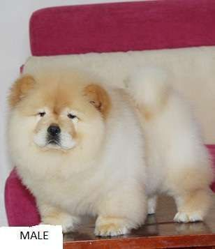 Chow Chow Puppies For Adoption Chow Chow Puppies For Sale
