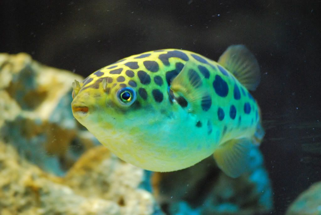 This Huge And Healthy Green Spotted Puffer Fish Looks Buzzzzed Hehehehehee Unique Animals Puffer Fish Fish Pet