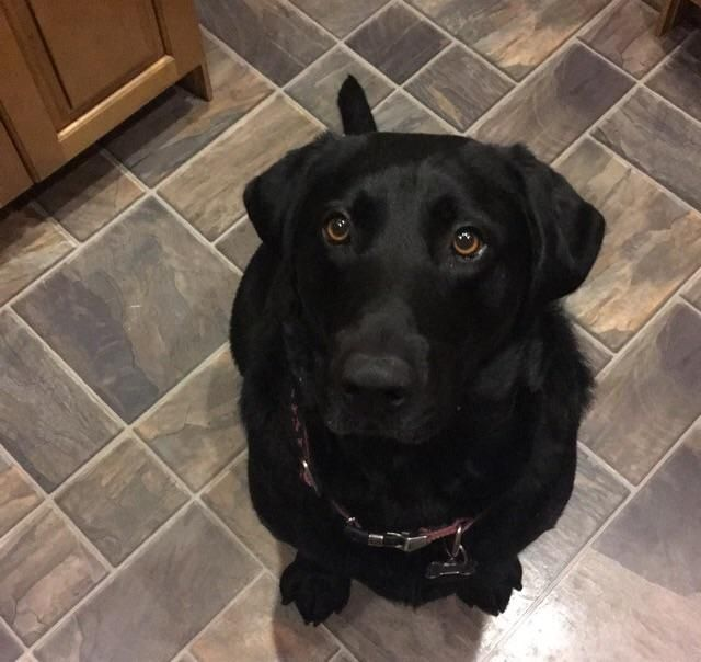 My 3 year old Black Lab! http://ift.tt/2pEAhCD