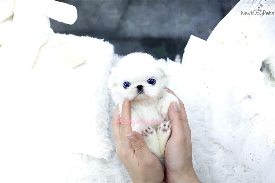 Look At Gorgeous Tiny Teacup Pekingese Girl She Has Beautiful