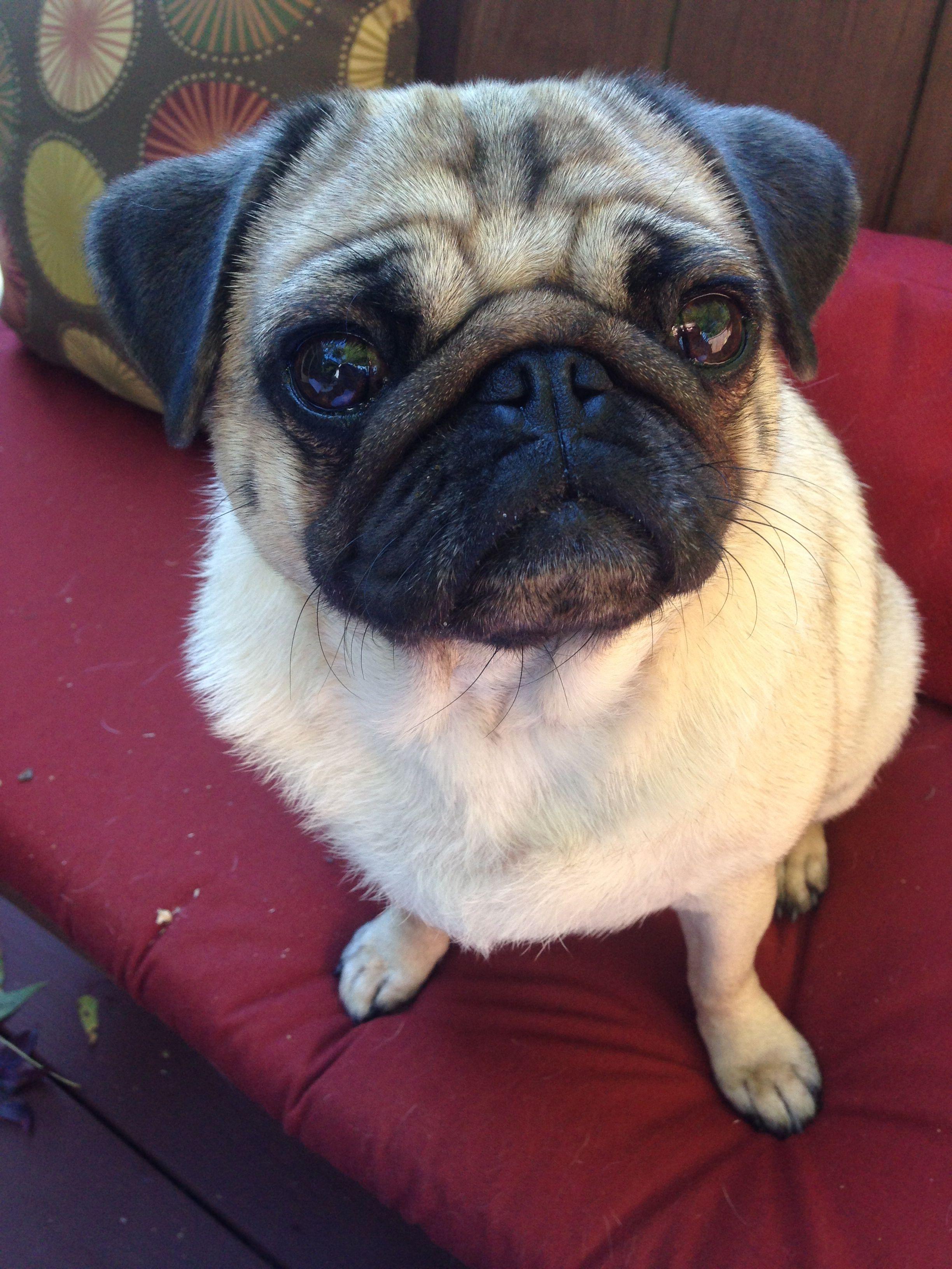 Our Sweet Pug Miss Emma Pugs