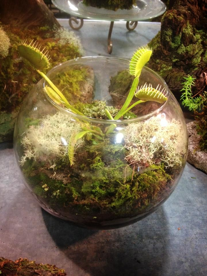 Medium Fish Bowl Venus Fly Trap Terrrarium Terrariums
