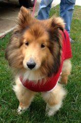 Archie is an adoptable Shetland Sheepdog Sheltie Dog in Sacramento, CA.  Ten-year-old Archie is an inspiration to anybody who meets him, even those who never saw the Archie who first came into Rescue...