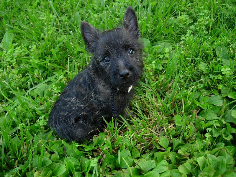 9 Week Old Cairn Puppy Cairn Terrier Wikipedia The Free