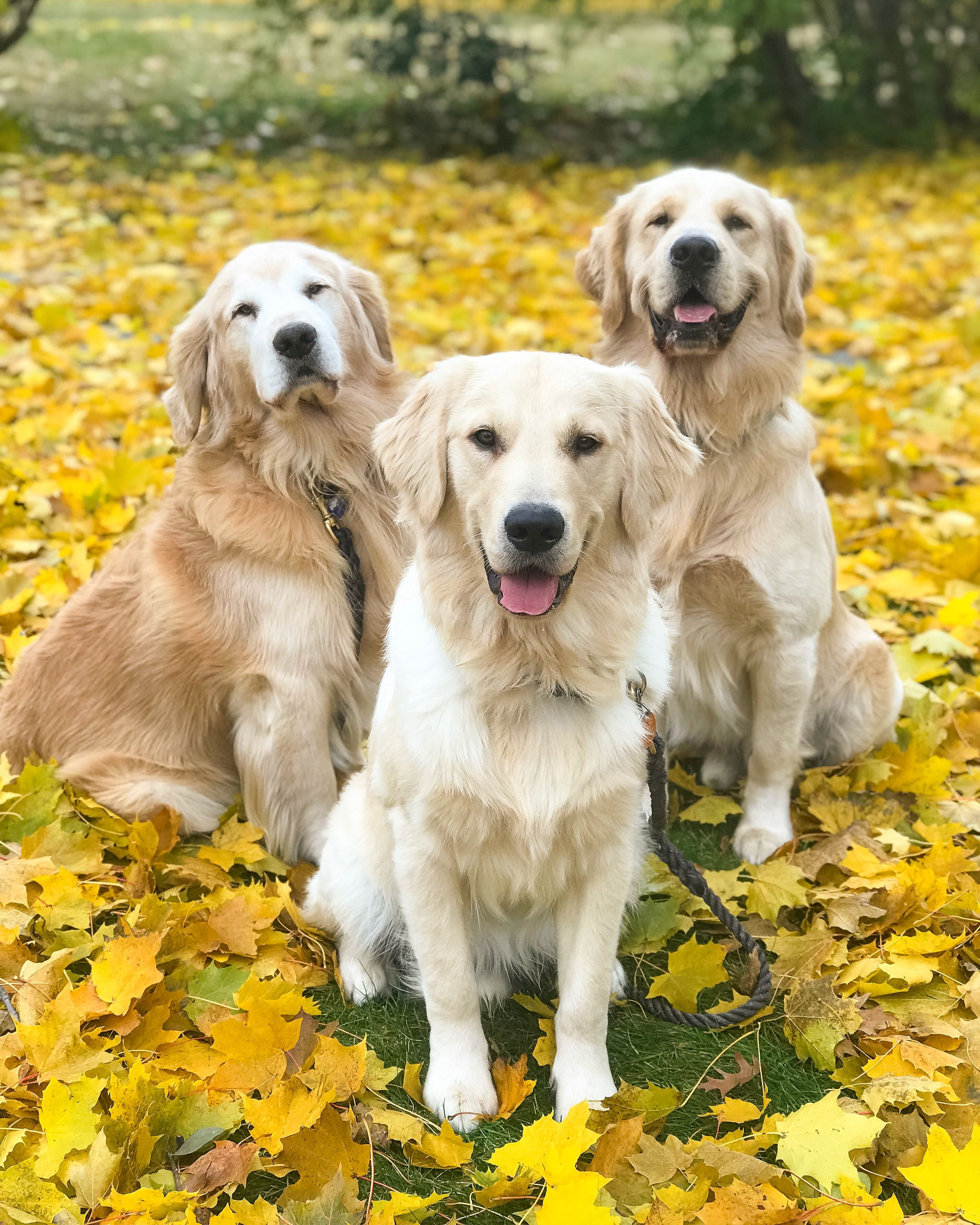 Golden Retriever Father Puppa Tavish With His Sons Joyful Jax