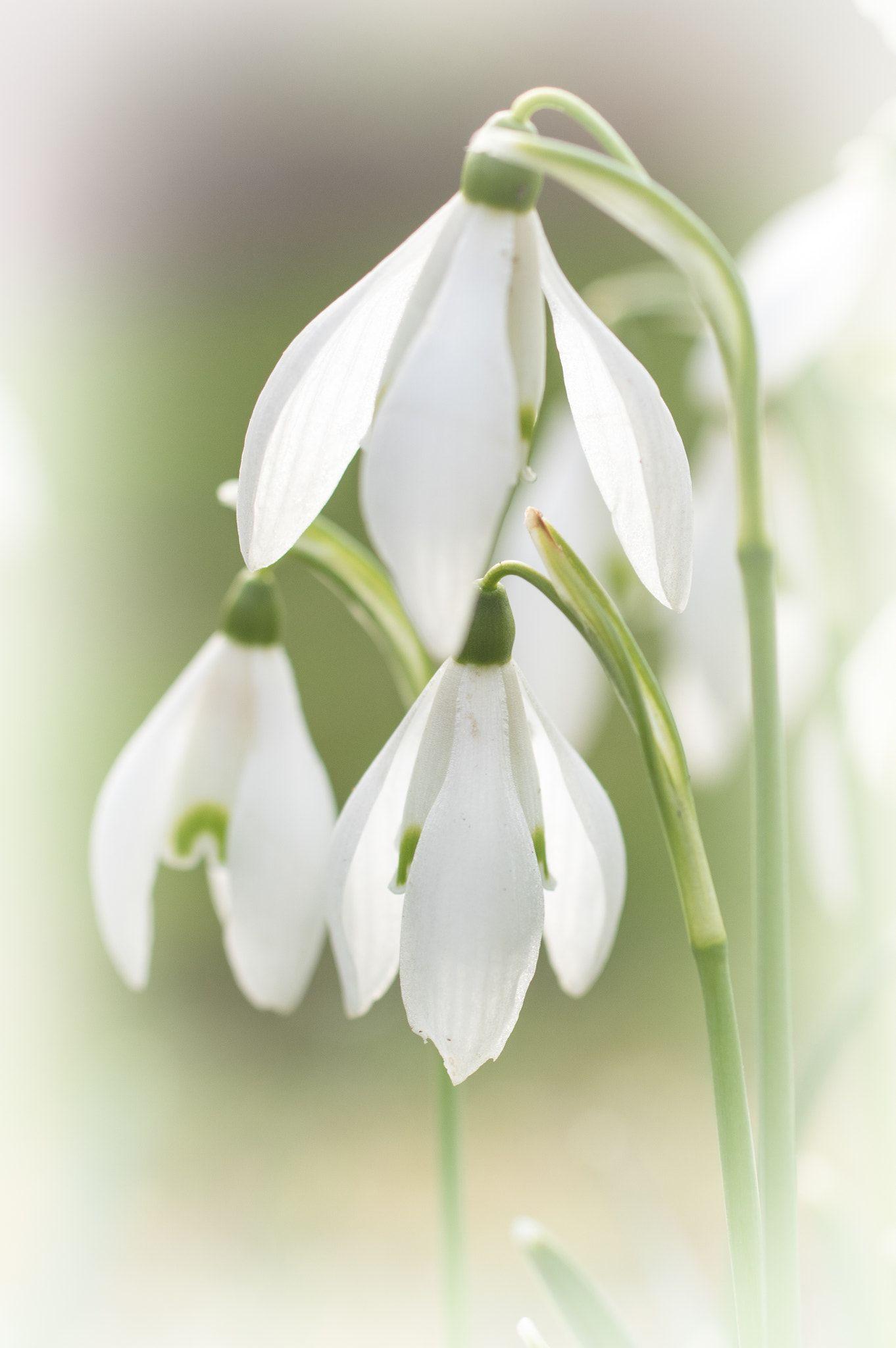 Pin Von Albertina Robillard Auf Snowdrops Mit Bildern Blumen Fruhling Natur