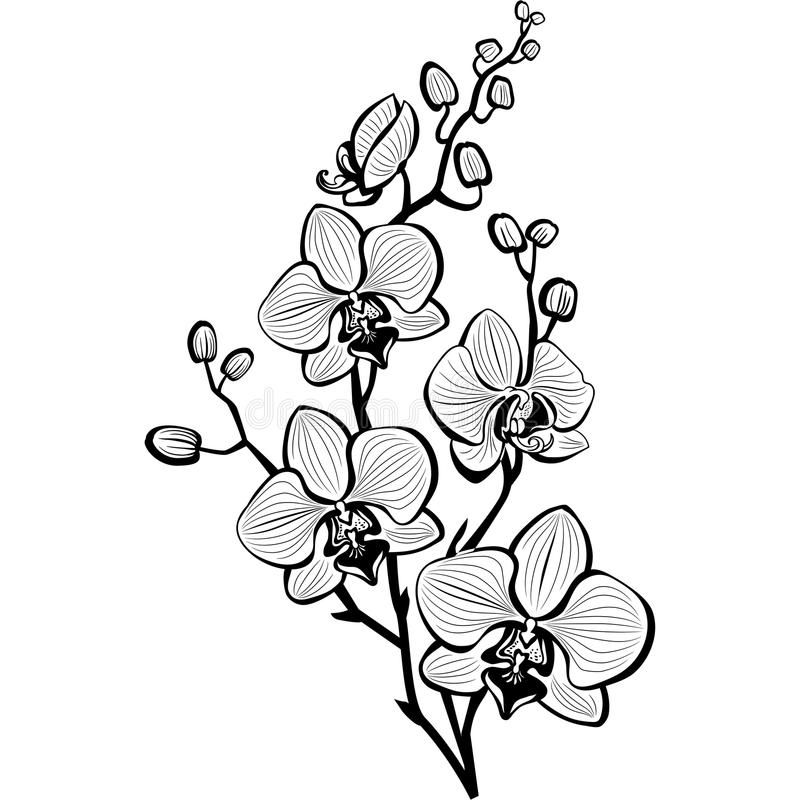 Sketch Of Orchid Flowers Stock Illustration Orchid Drawing Flower Sketches Orchid Illustration