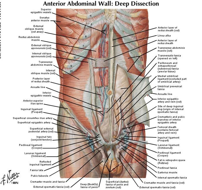 Lower Abdominal Muscles Anatomy Cea1 Human Body Anatomy
