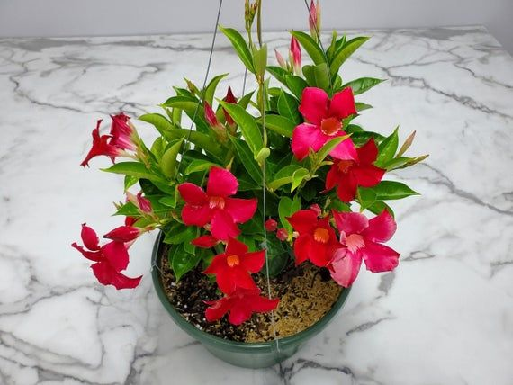 """Live Dipladenia Hanging Basket with Coral FlowersPlanter/pot Size: 12"""" Hanging BasketOverall Size: 14"""" wide by 16"""" tall*Flower Color: CoralThis plant was grown in sunny South Florida!*Overall height is exclusive of the planter height, meaning the height it measured from the top of the soil to the top of the plant.The Dipladenia hanging basket sports dramatic trumpet-shaped flowers that bloom profusely on a sturdy twining or bushlike vine. This flowering plant is spectacular for small trellises,"""